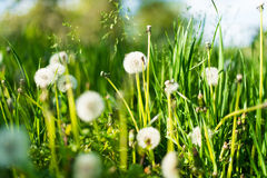 Dandelion in green grass. In spring Stock Photos