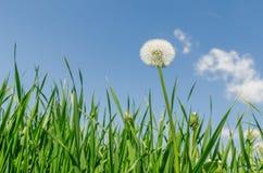 Dandelion in green grass Royalty Free Stock Photo