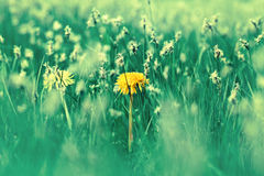 Dandelion in green grass Stock Images