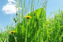 Dandelion in green grass Stock Photos