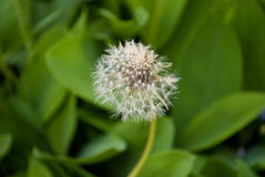 Dandelion with green leaves in background.  Stock Image