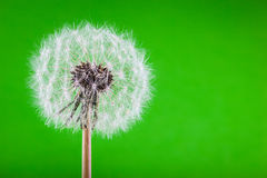 Dandelion on green Royalty Free Stock Image