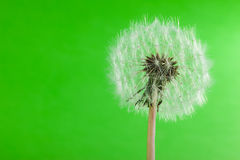 Dandelion on green Stock Photo