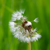 Dandelion. In a green meadow royalty free stock photos