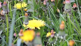 Dandelion. On a green meadow stock footage