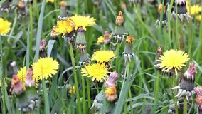 Dandelion. On a green meadow stock video footage