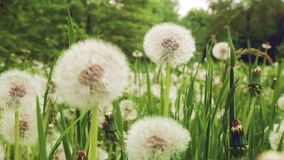 Dandelion. On a green meadow stock video