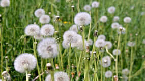 Dandelion on a green meadow background. Stock Photo