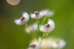 Dandelion on green Stock Photo