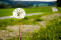 Dandelion in a Green Swiss Field. A dandelion stands alone in a field next to a country road in Switzerland Stock Photography