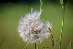 Dandelion on Green Royalty Free Stock Photo