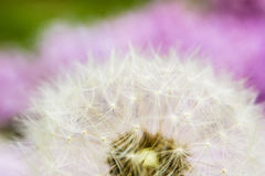 Dandelion with green and violet aura Royalty Free Stock Image