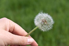 A dandelion on green in the Wind Stock Image