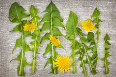 Dandelion greens and flowers Royalty Free Stock Photo