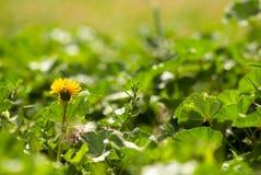 Dandelion Growing in A Garden. A yellow dandelion weed grows in a garden in summertime stock photo