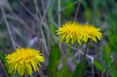 Dandelion growing in the grass on a Sunny day royalty free stock image