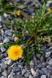 Dandelion growing in the rocks. As weeds stock image