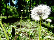 Dandelion grows in the park Royalty Free Stock Photos