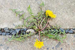 Dandelion grows through stone Royalty Free Stock Images