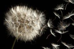 Dandelion Gubienia Ziarna w Wiatrze Fotografia Stock