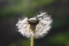 Dandelion is half blown away by the wind Royalty Free Stock Photos