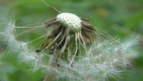 Dandelion. Half Blown Dandelion Flower In The Field stock video footage