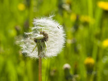 Dandelion with half-blown ripe seeds on bokeh background, macro, selective focus, shallow DOF Stock Photos