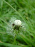 Dandelion. A half empty dandelion amongst the grass Stock Images