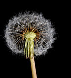 Dandelion with a half seed sphere Stock Photos