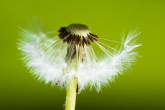 Dandelion with half of seeds Stock Photography