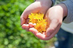 Dandelion and hand Stock Images