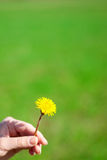 Dandelion in a hand Stock Photos