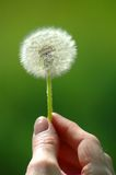 Dandelion in hand Royalty Free Stock Photography