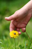 Dandelion in hand. Spring time on the meadow and hand touching dandelion Royalty Free Stock Image