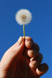 Dandelion in the hand Stock Photography