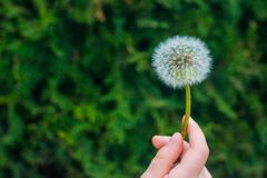 Dandelion in the hand of a child close-up royalty free stock photo