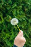Dandelion in the hand of a child close-up stock photo