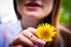 Dandelion in hand and fly flies stock photos