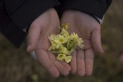 Dandelion in hand. Dandelion in hand isolated background royalty free stock images
