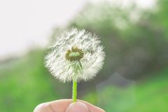Dandelion in hand. Dandelion in the hand of summer, the beginning of the season stock photos
