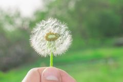 Dandelion in hand. Dandelion in the hand of summer, the beginning of the season royalty free stock images