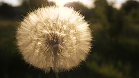 Dandelion in a hand. On sunset stock video