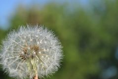 Dandelion faded background full color. A dandelion that has gone to seed but is complete and has not been disrupted or pulled apart by the wind royalty free stock image