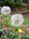 Wonderful dandelion stock image