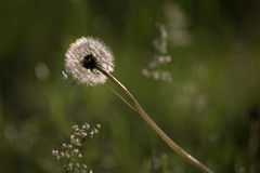 A dandelion that has passed its bloom Stock Photos