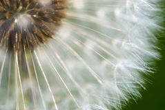 Dandelion head. Close-up of seeded dandelion head stock image