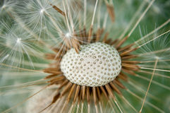 Dandelion head. Royalty Free Stock Images