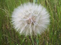 Dandelion head Royalty Free Stock Photo