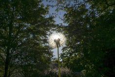 Dandelion Head Against The Sun Stock Photography