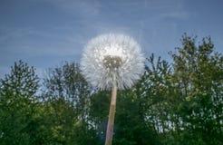 Dandelion Head Against The Sun Royalty Free Stock Photos